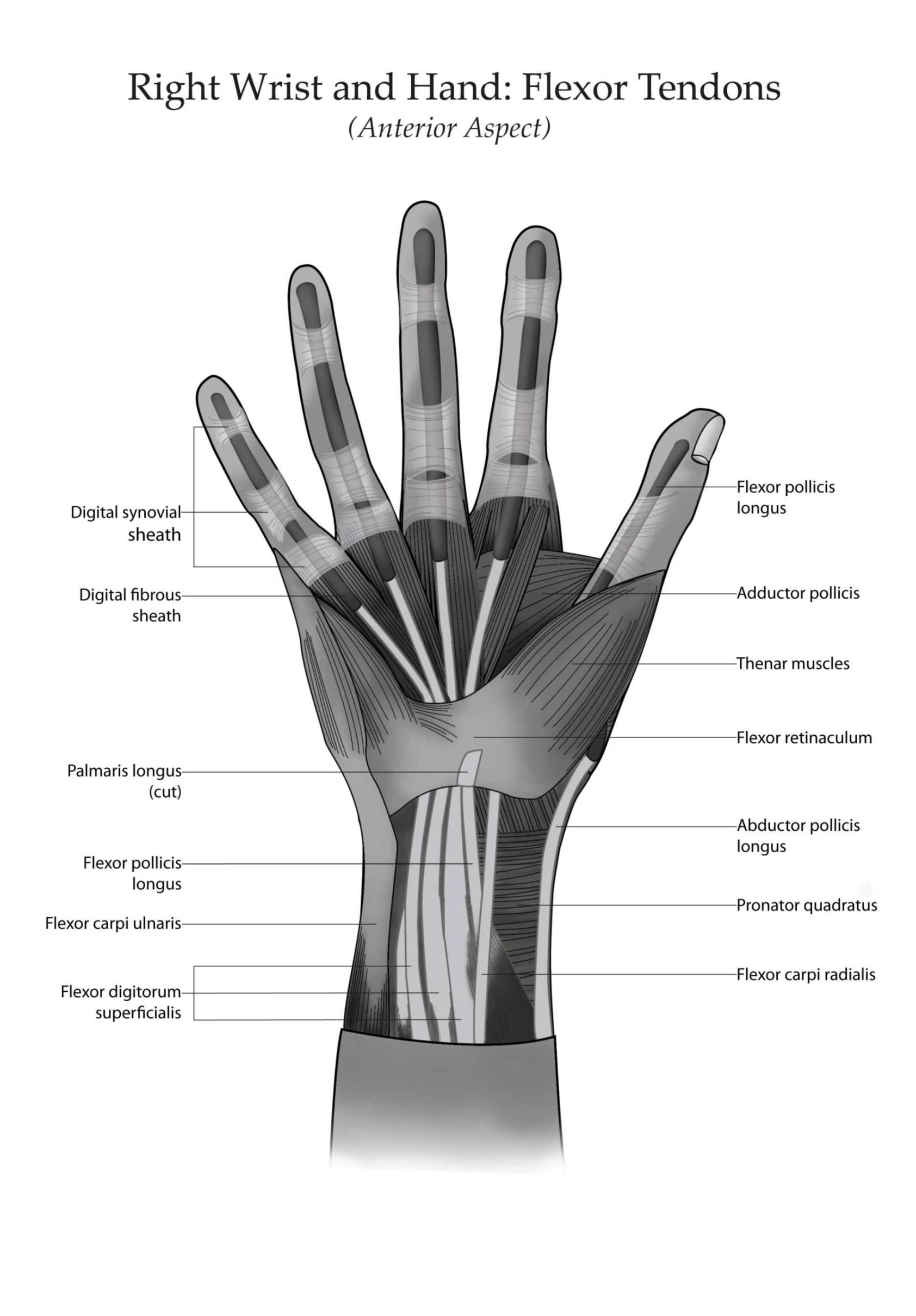 tendons thumb flexor